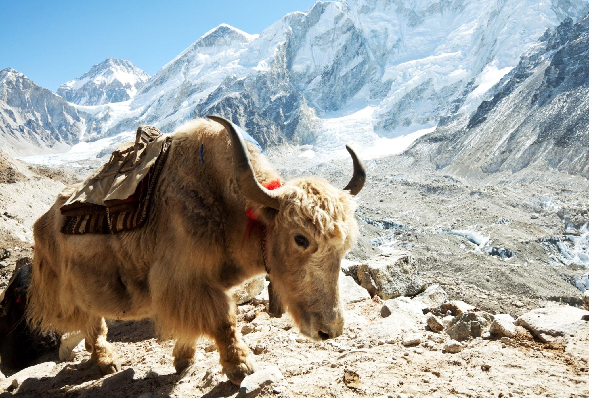 6857450 Yak In Himalaya